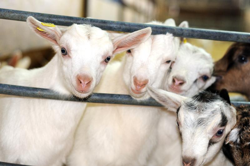 La chèvrerie du Charmat